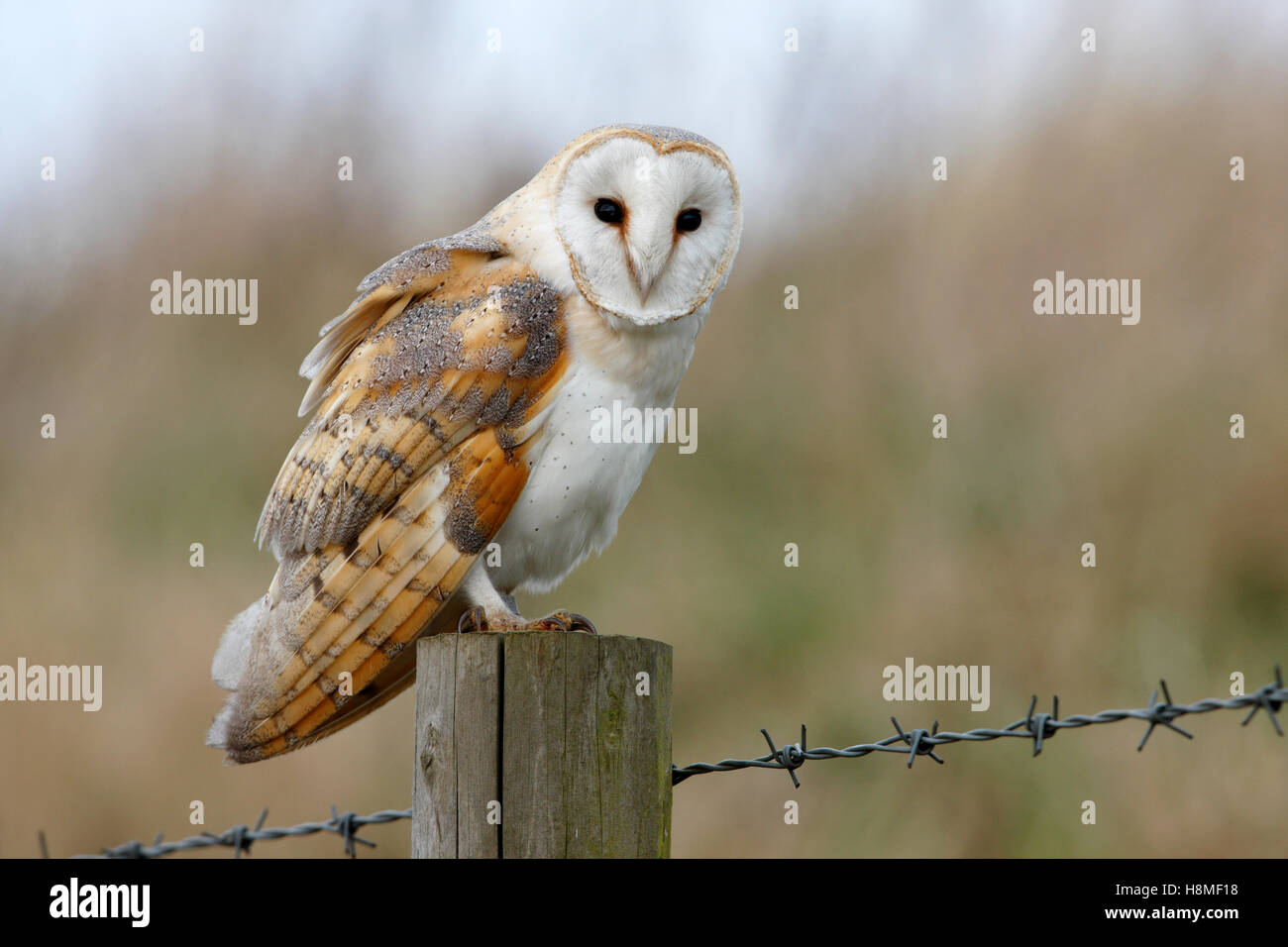 Barn Owl Tyto alba perched on a roadside fence post - Stock Image