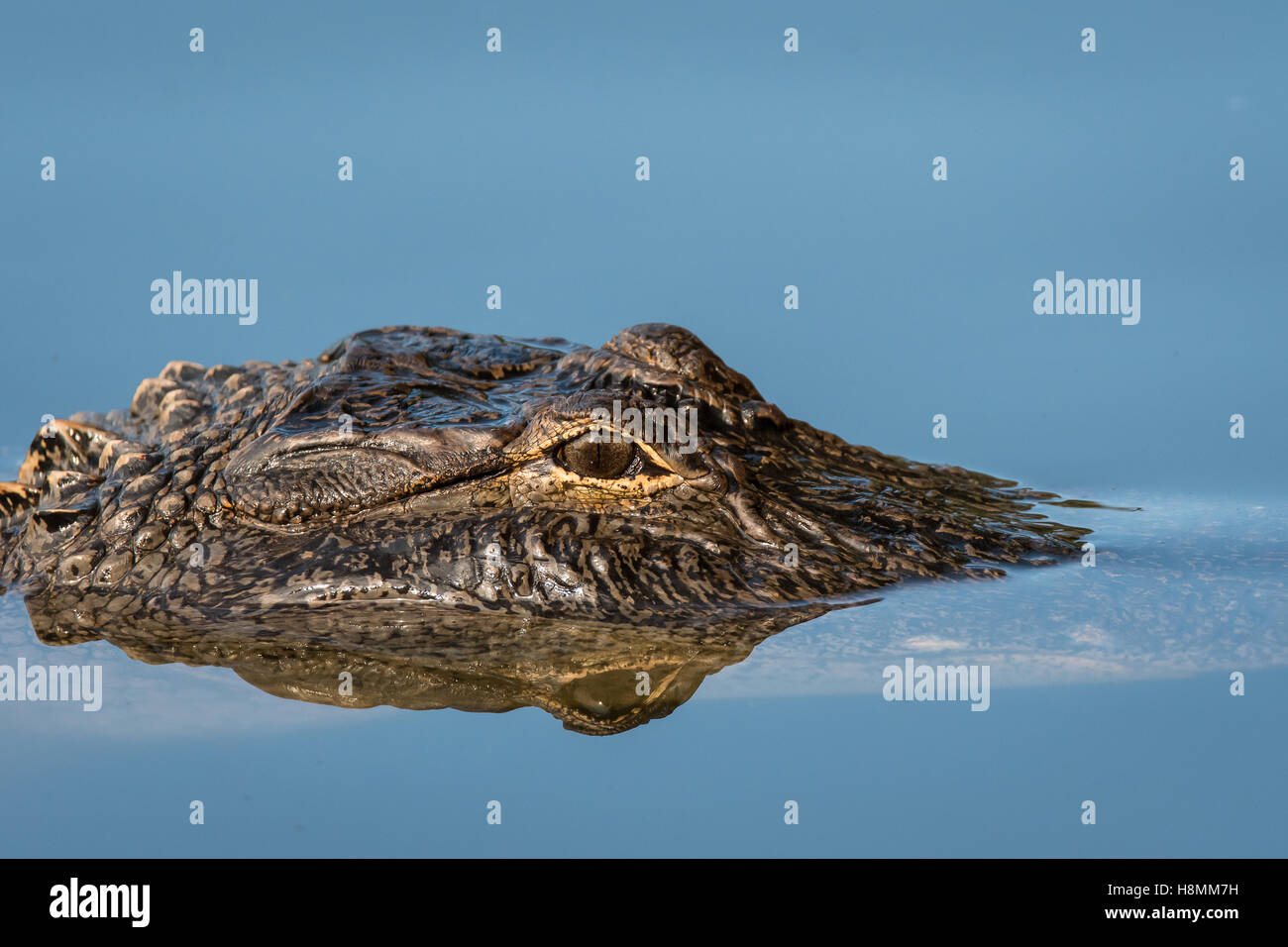 Close-up of an alligator's head and eye - Stock Image