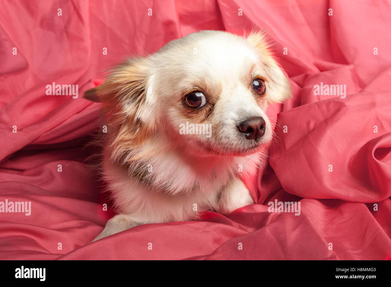 The cute guilty expression of a little chihuahua and terrier mix. - Stock Image