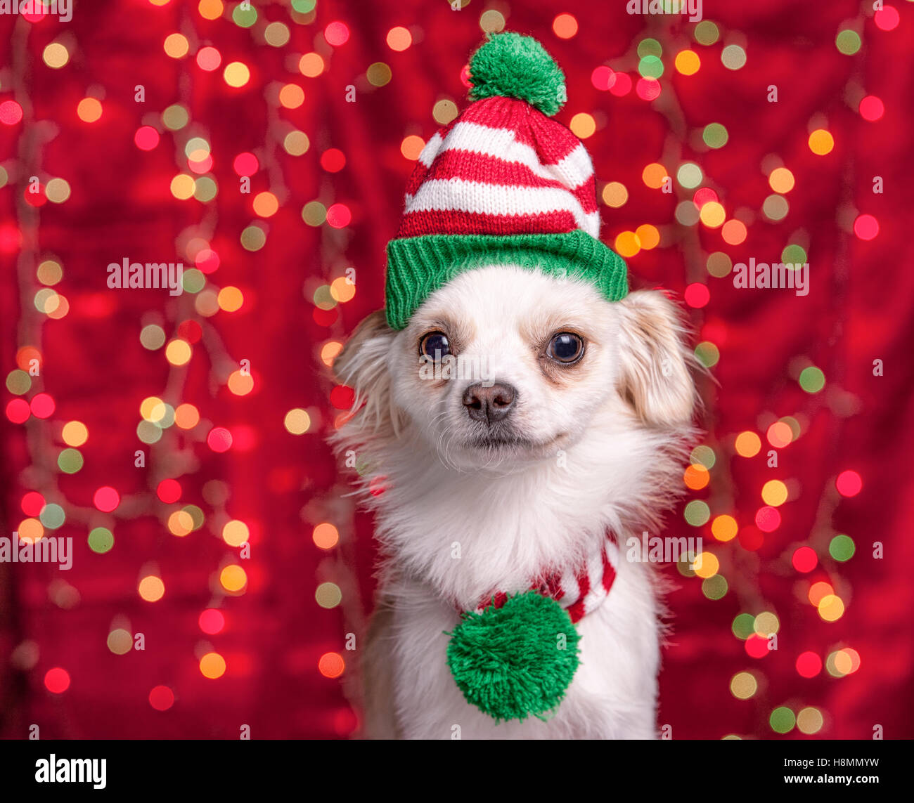 A small chihuahua/terrier mix wears a christmas cap and scarf with lights in the background. - Stock Image