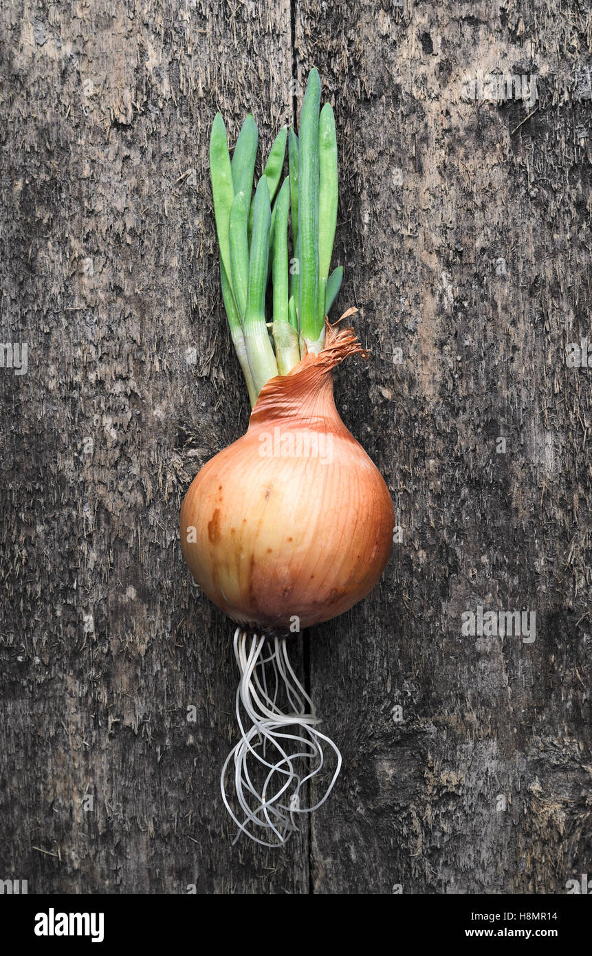 Young germinated brown onions with roots on rustic wooden background. Top view. Natural light. Close-up of brown - Stock Image