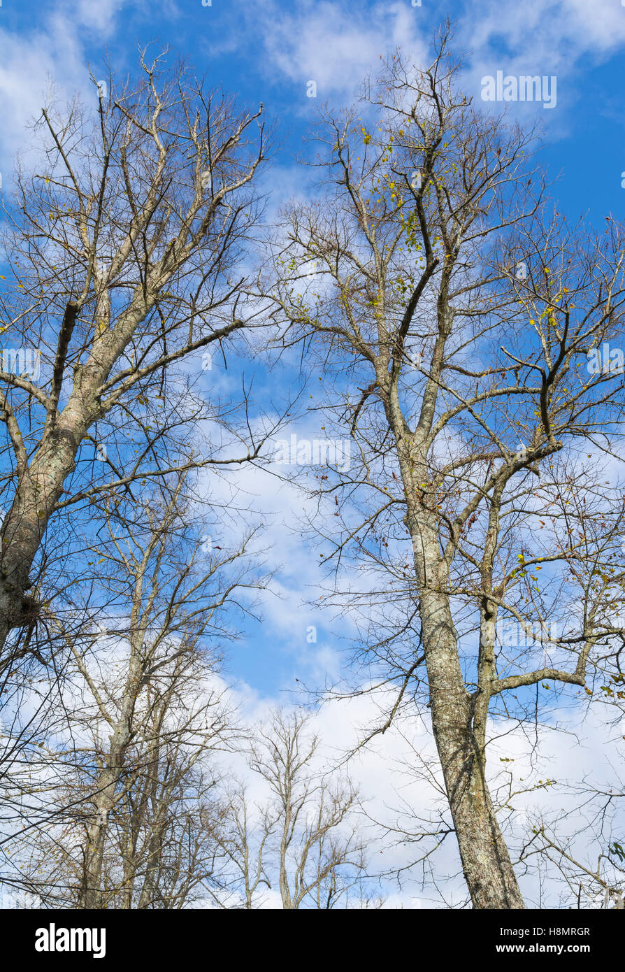 Looking up at bare trees in Winter against blue sky. - Stock Image