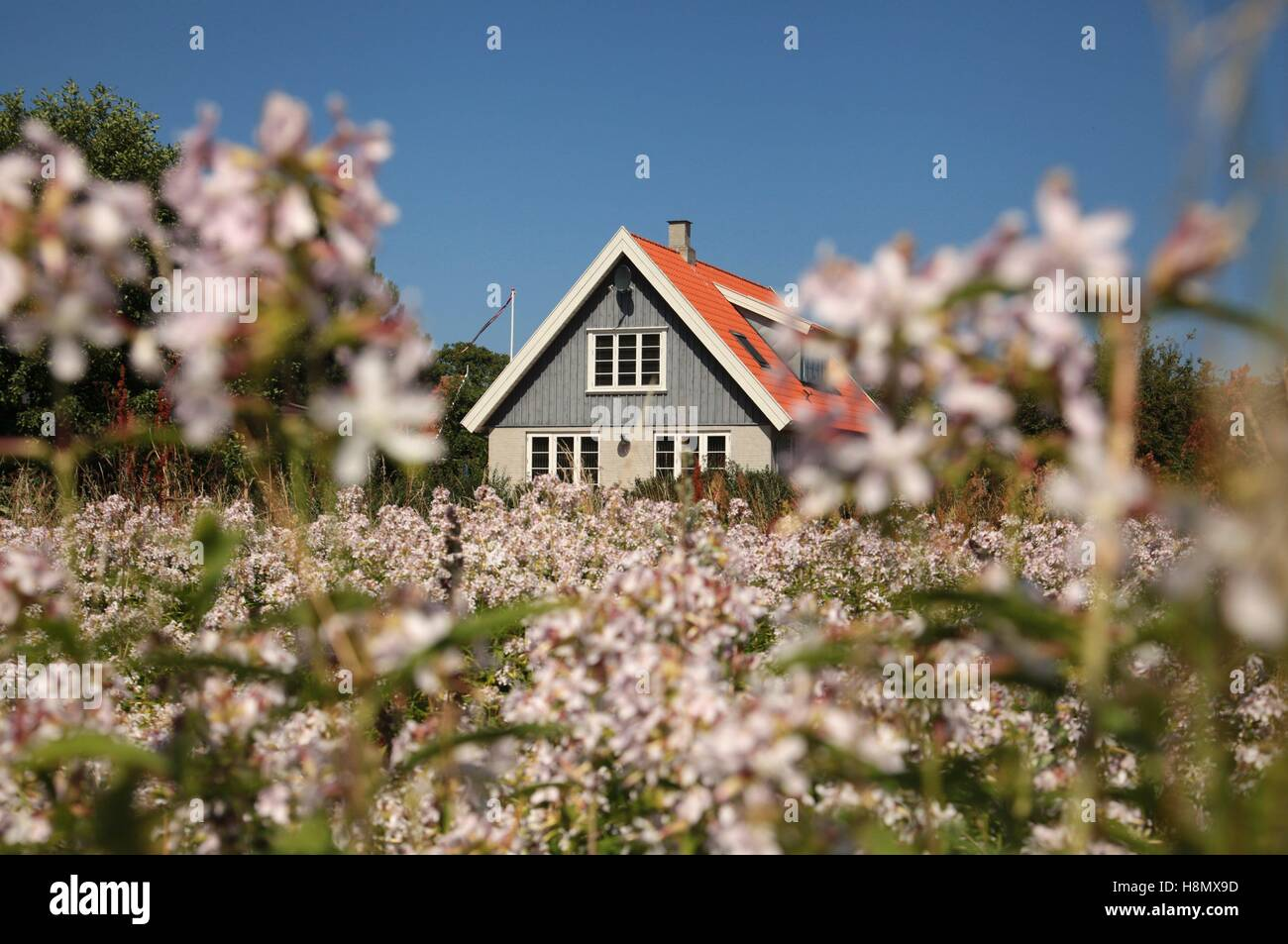 An house with a garden full of flowers in city of Gudhjem in the ...
