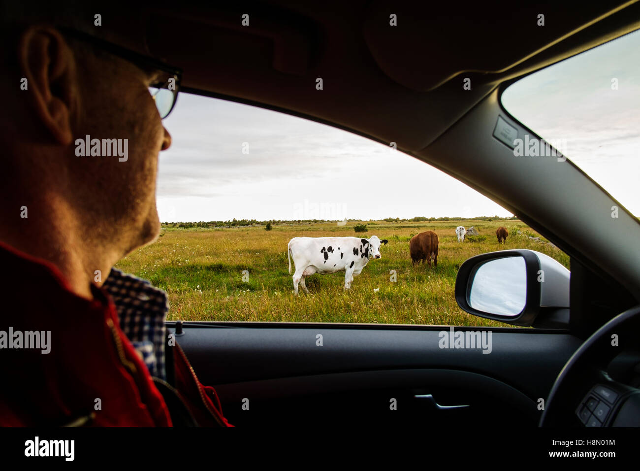 Mature man in car observing cows grazing in field - Stock Image
