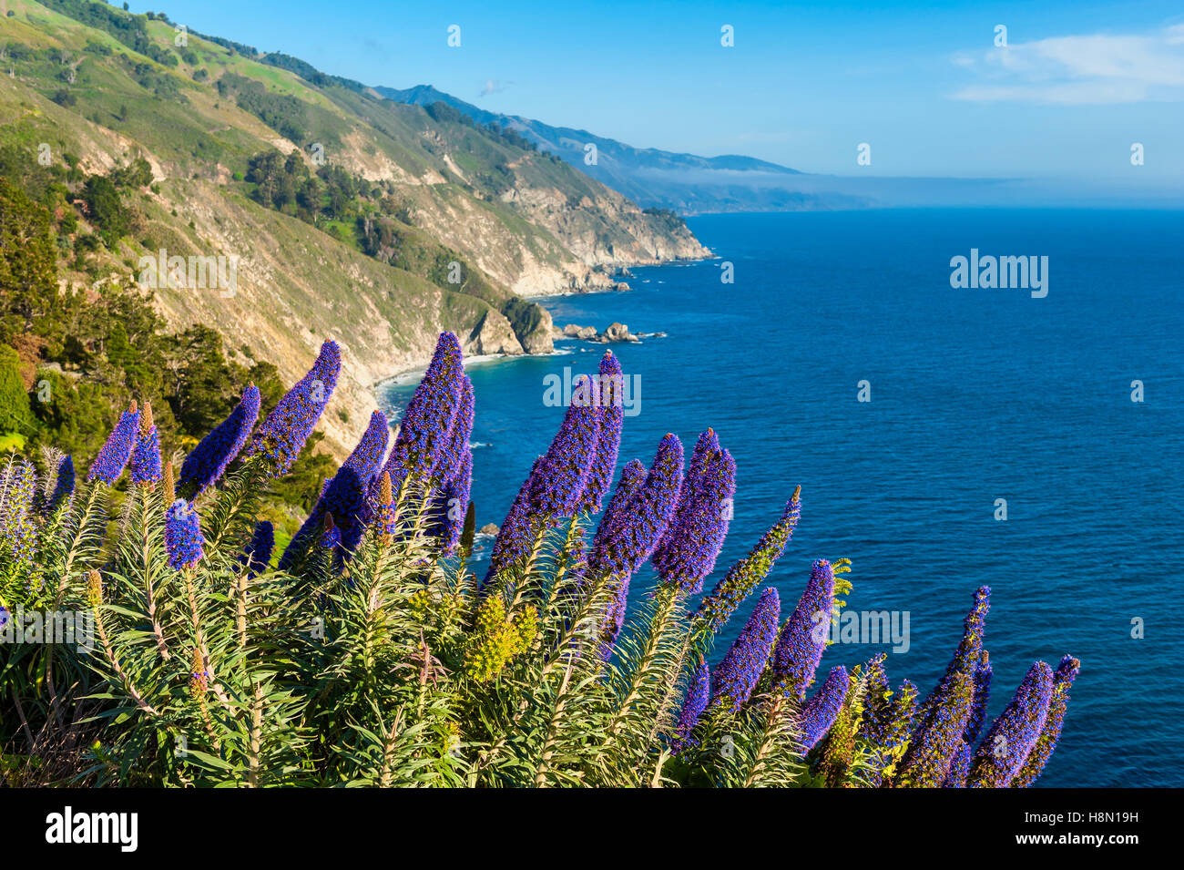 Blooming flowers in Big Sur California - Stock Image