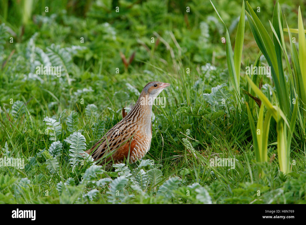 Corncrake Crex crex in a crofters hay meadow on North Uist Outer Hebrides Stock Photo