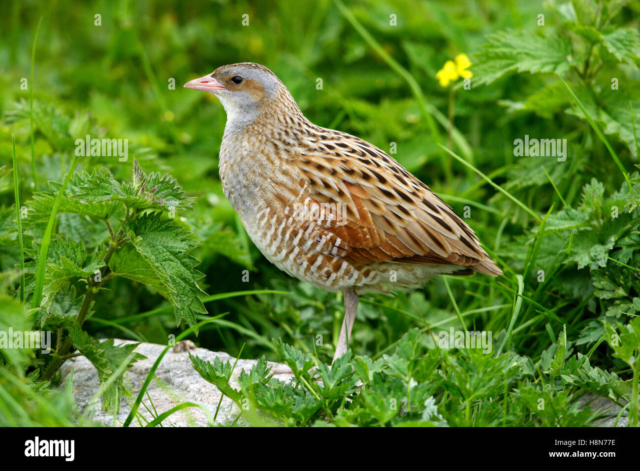 Corncrake Crex crex in a crofters hay meadow on North Uist Outer Hebrides - Stock Image