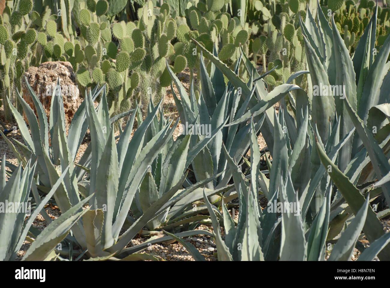 Mexico desert landscape cactus stock photos mexico for Cactus santiago