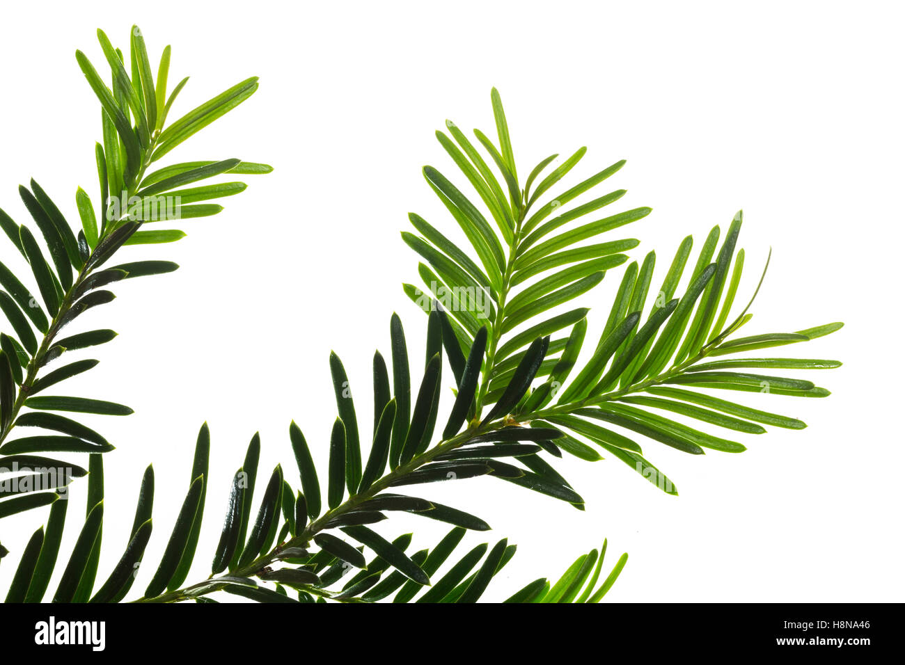 Europäische Eibe, Eibenbaum, Taxus baccata, European yew, Common yew, yew, L'If commun, If Stock Photo
