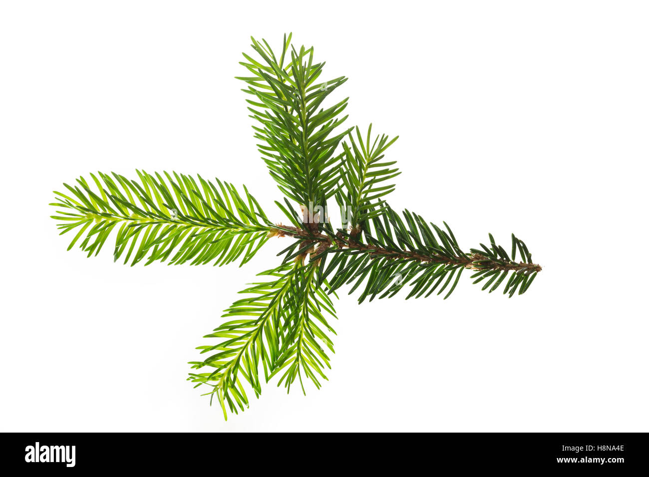 Gewöhnliche Fichte, Rot-Fichte, Rotfichte, Picea abies, Common Spruce, Norway spruce, L'Épicéa, Épicéa commun Stock Photo