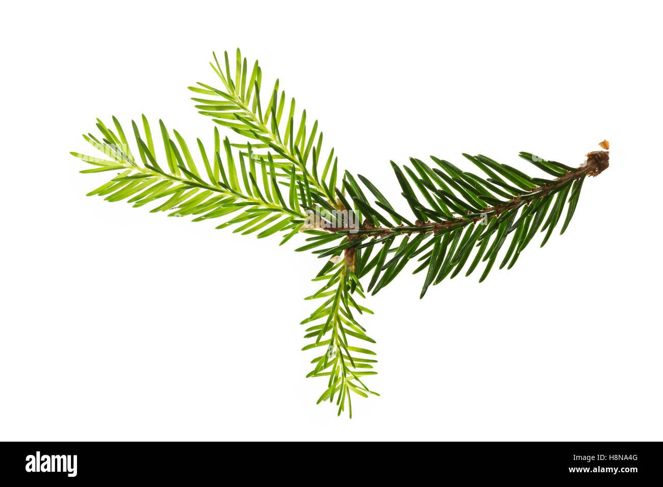 Gewöhnliche Fichte, Rot-Fichte, Rotfichte, Picea abies, Common Spruce, Norway spruce, L'Épicéa, Épicéa - Stock Image