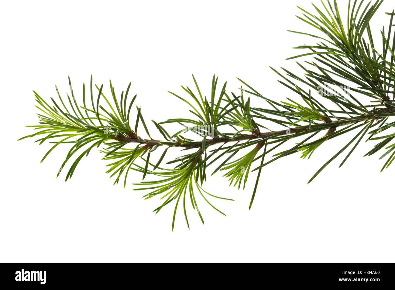 Libanon-Zeder, Libanonzeder, Libanesische Zeder, Cedrus libani, Cedrus libanotica, Lebanon cedar, Cedar of Lebanon, - Stock Image