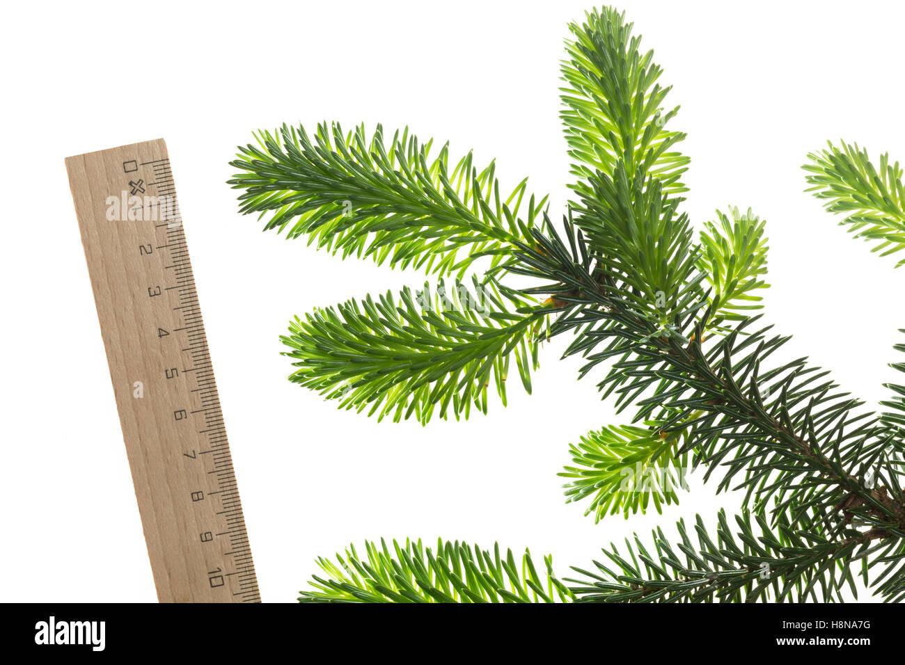 Sitka-Fichte, Sitkafichte, Picea sitchensis, Sitka spruce, L'Épinette de Sitka, Épicéa de France. - Stock Image