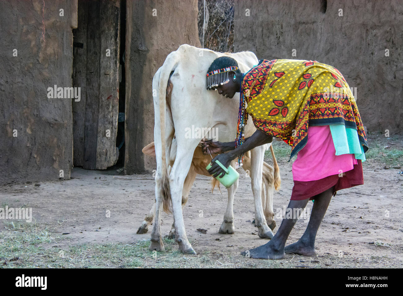 Maasai Woman milking a cow, wearing traditional attire, in a village near the Masai Mara National Park, Kenya, East Stock Photo