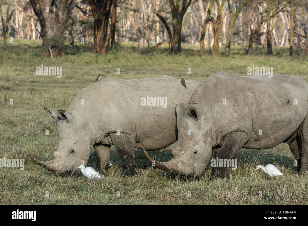 Two White Rhinoceroses, Ceratotherium simum, grazing with Cattle Egrets and Oxpeckers in Nakuru National Park, Kenya, - Stock Photo
