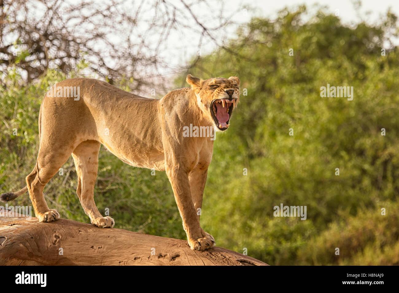 Full Body profile view of an adult  Samburu Lion, Panthera leo, yawning, Buffalo National Reserve Northern Kenya, - Stock Image