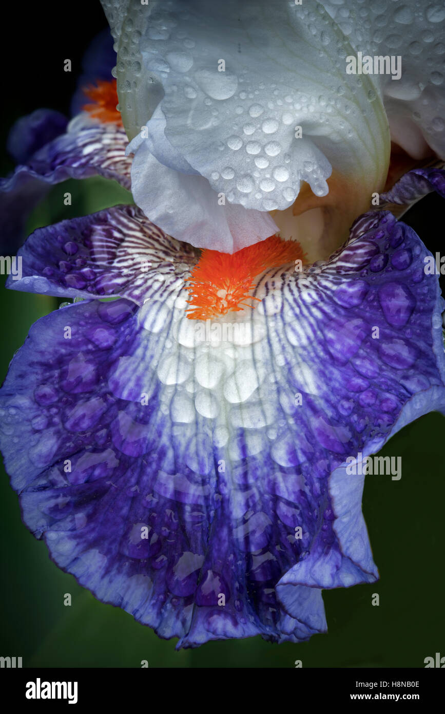 Close up of iris flower (Gypsy Lord) with rain drops. Schriners Iris Garden. Oregon - Stock Image