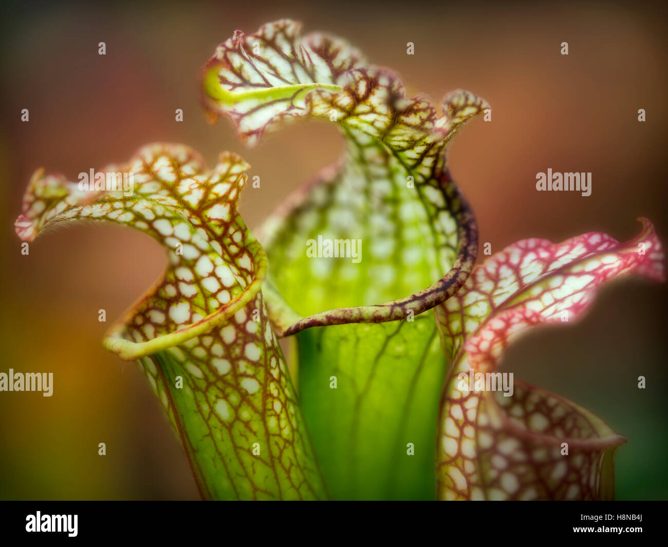 Close up of Dana's Delight Sarracenia picture plant flowers. - Stock Image