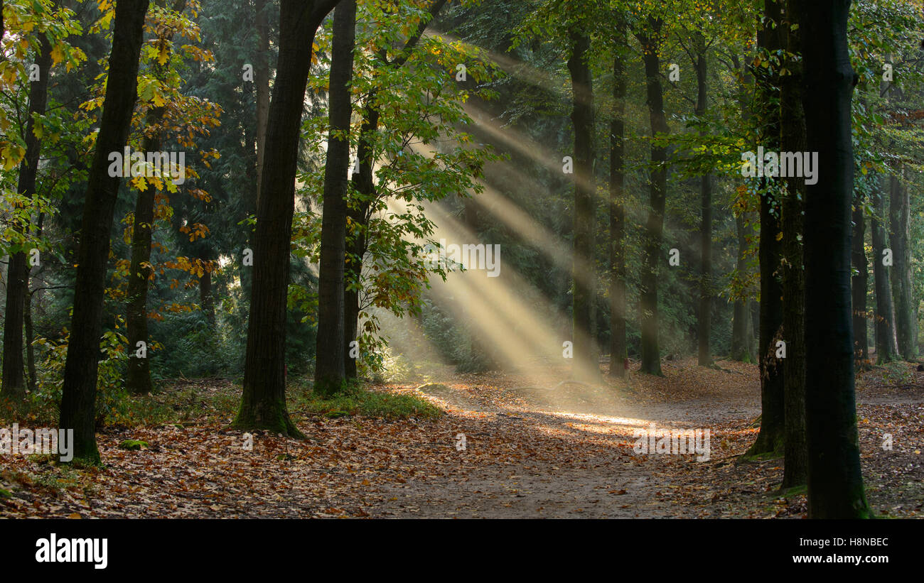 Sun rays or sun harp in an autumn forest with a lane with Oak (Quercus rubra) trees - Stock Image