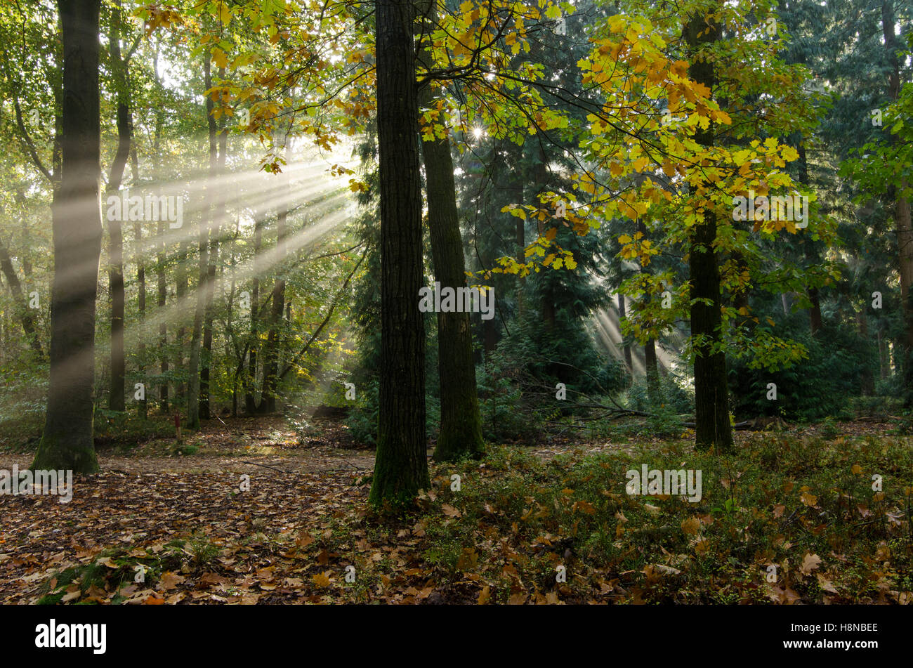 Sun rays or sun harp in an autumn forest with with Oak (Quercus rubra) trees - Stock Image