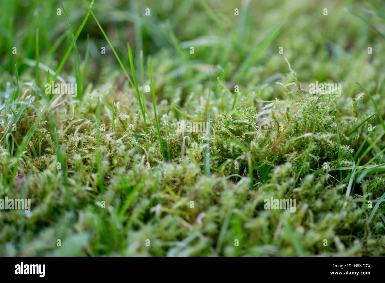 Moss growing in garden lawn - Stock Image