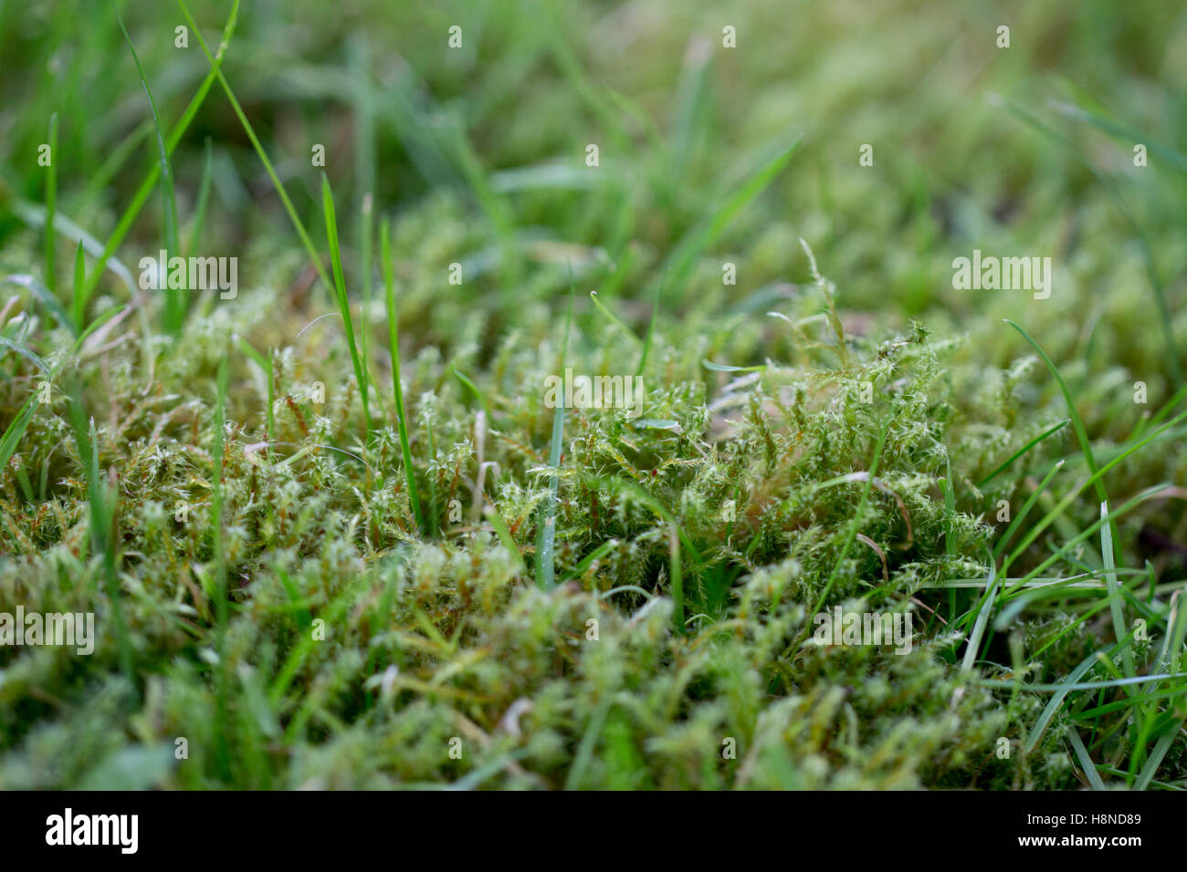 Moss growing in garden lawn - Stock Image
