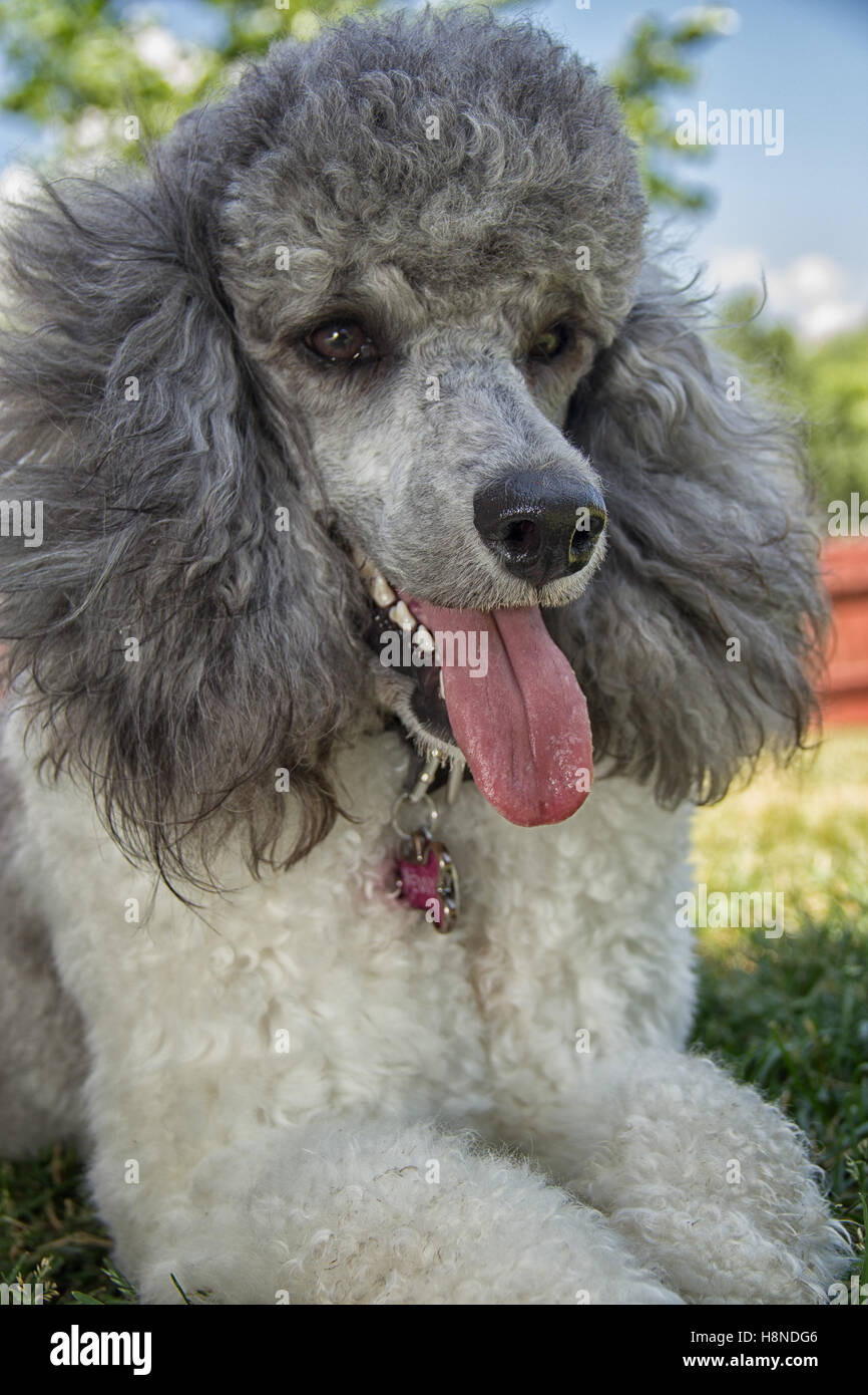 happy poodle in the yard - Stock Image