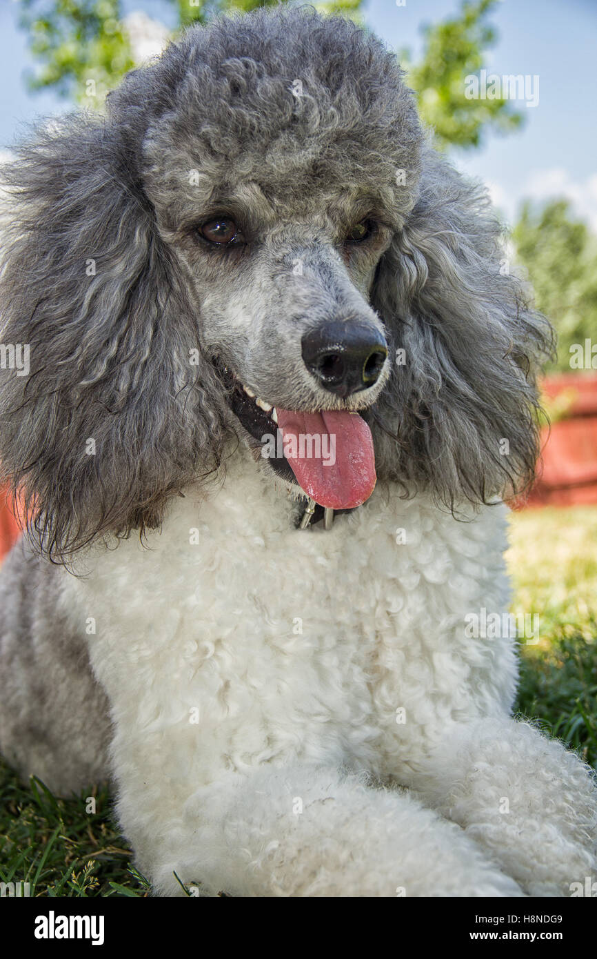 happy poodle dog - Stock Image