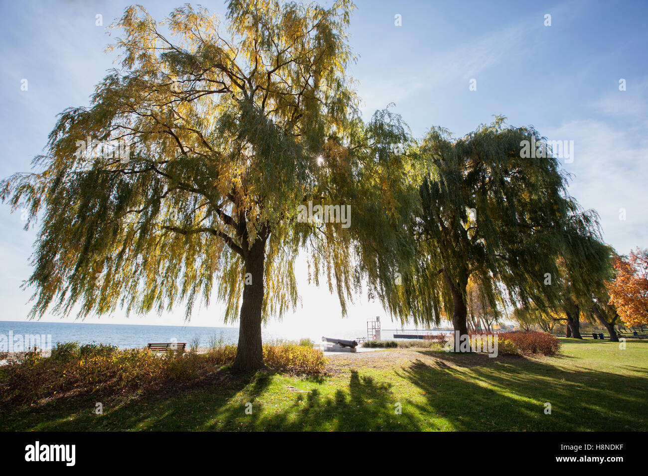 sunrays coming through the branches of a willow tree - Stock Image