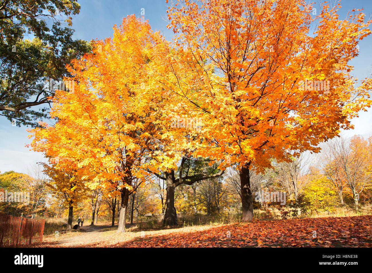 colorful maple trees in park during autumn fall season brightly