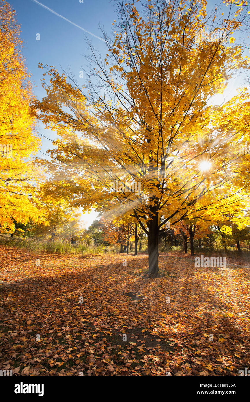 sunrays coming through the branches of a large orange maple tree - Stock Image