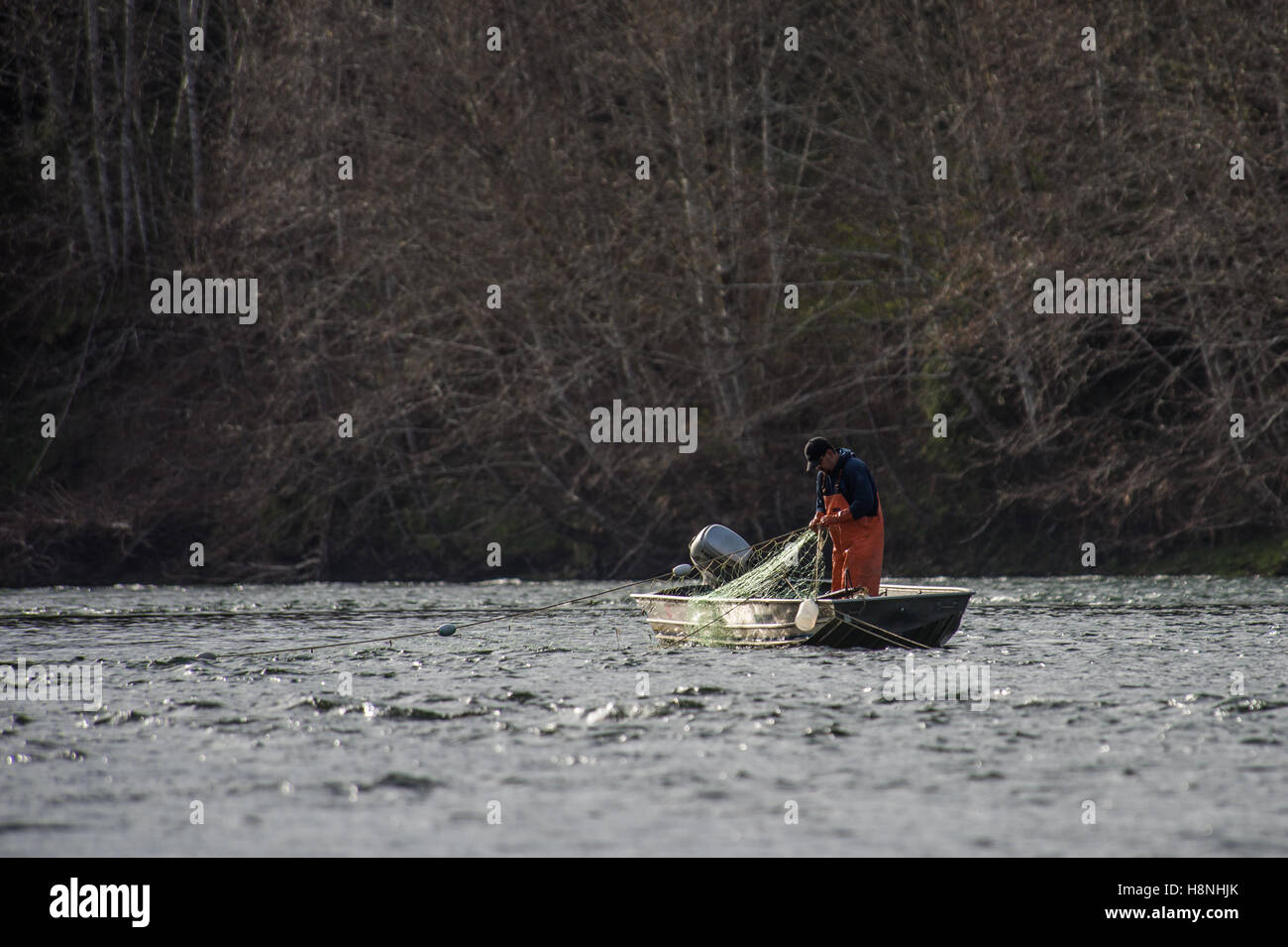 Commercial fisherman checking his nets for steelhead and salmon - Stock Image