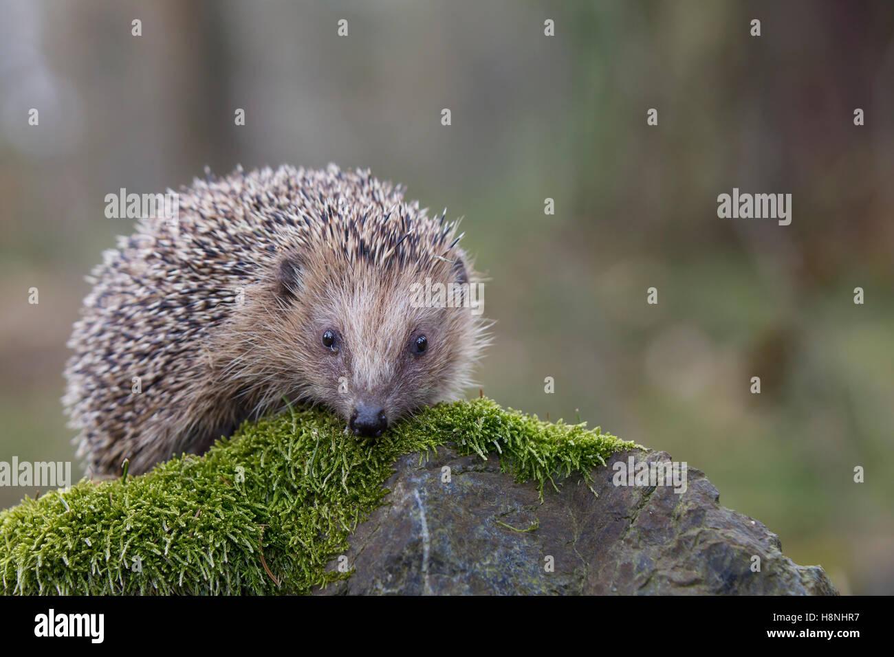 Igel, Erinaceus europaeus, Hedgehog - Stock Image