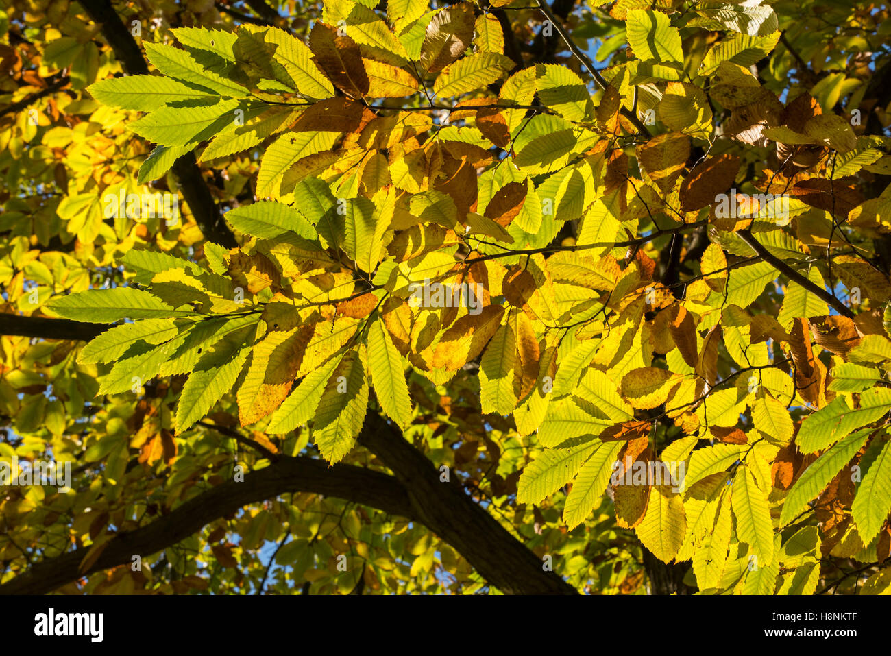 Dense foliage of sweet chestnut (Castanea sativa) tree showing leaves in autumn colours Stock Photo