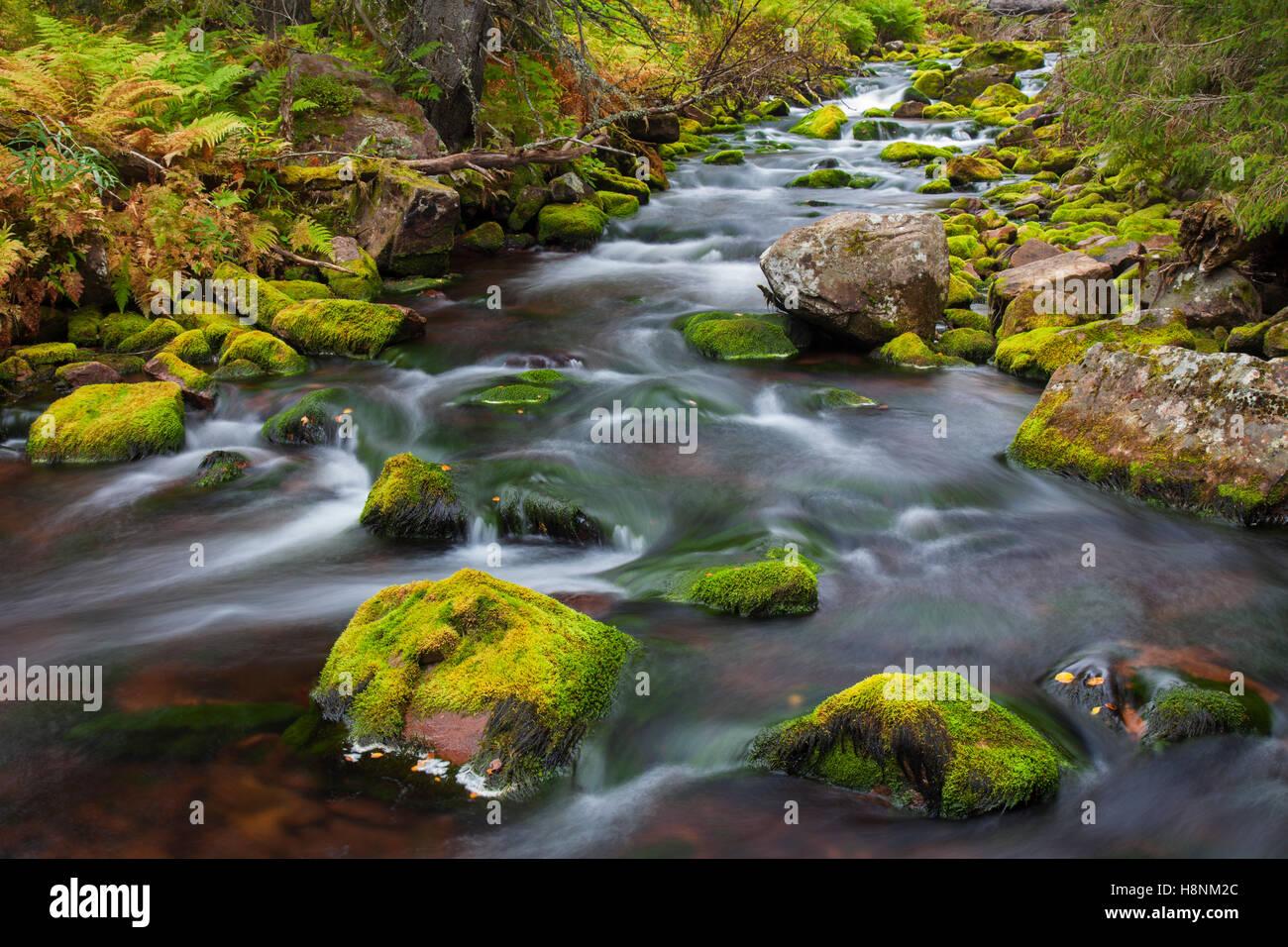 Moss covered boulders in tream Njupan / Njupån in autumn forest, Fulufjaellet / Fulufjället National Park, - Stock Image