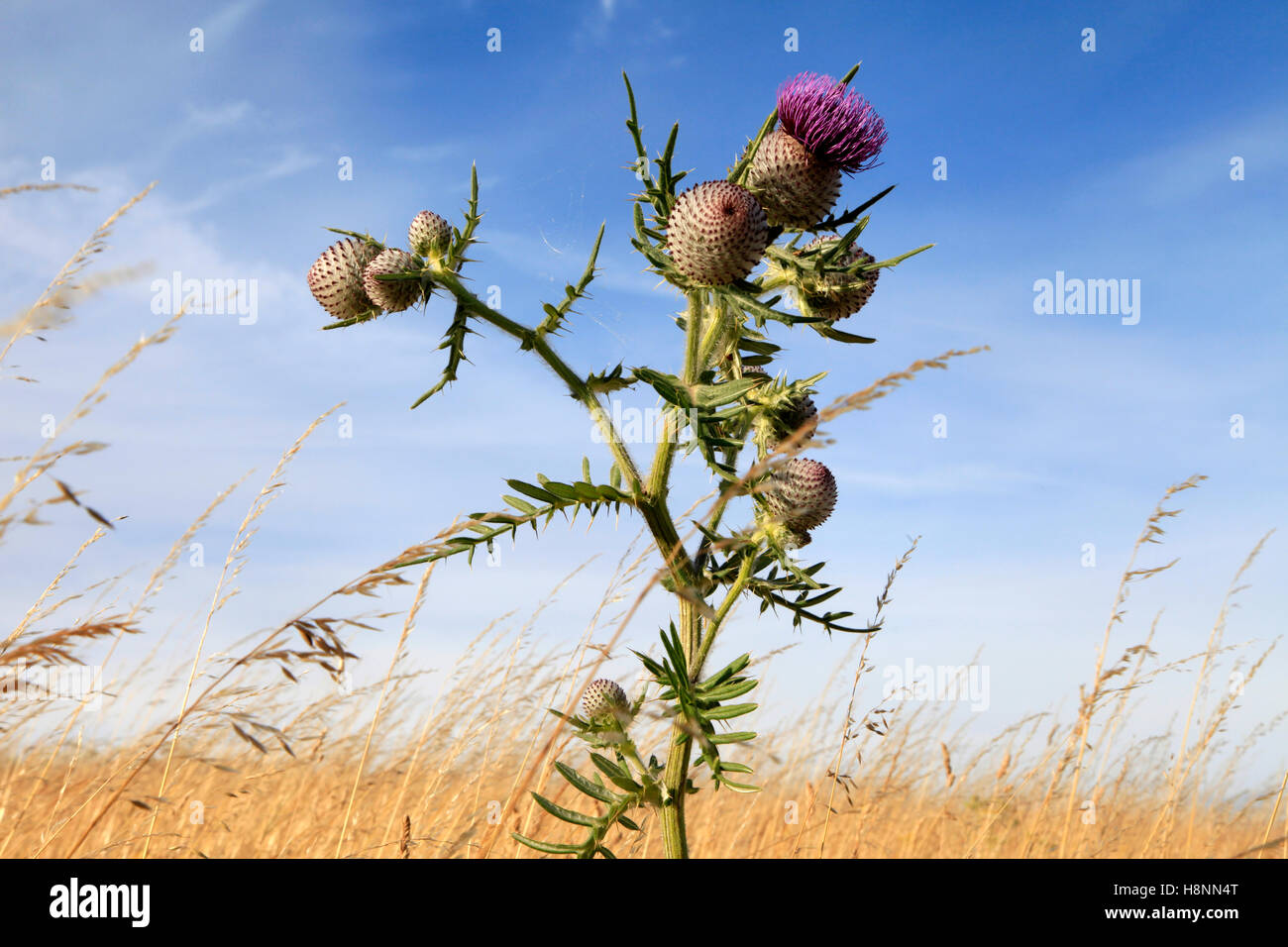 A common thistle growing on chalk downland in Wiltshire, England. - Stock Image