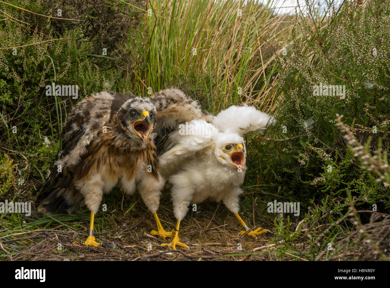 Hen Harrier (Circus cyaneus) nest with two chick, one a female (left) which is much bigger than the rare leucistic - Stock Image