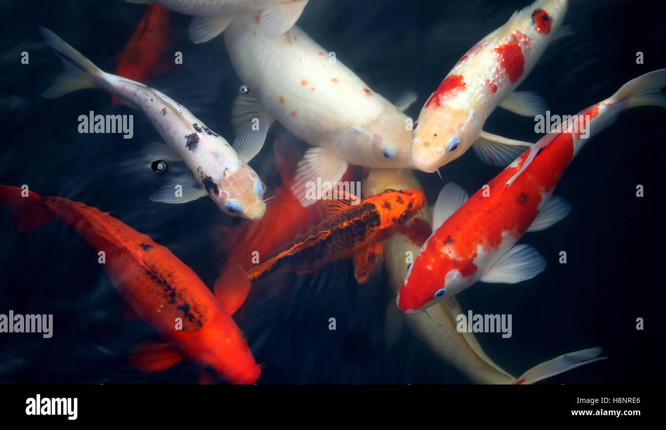 Different colored fish carp in a pond to photograph closeup Stock ...