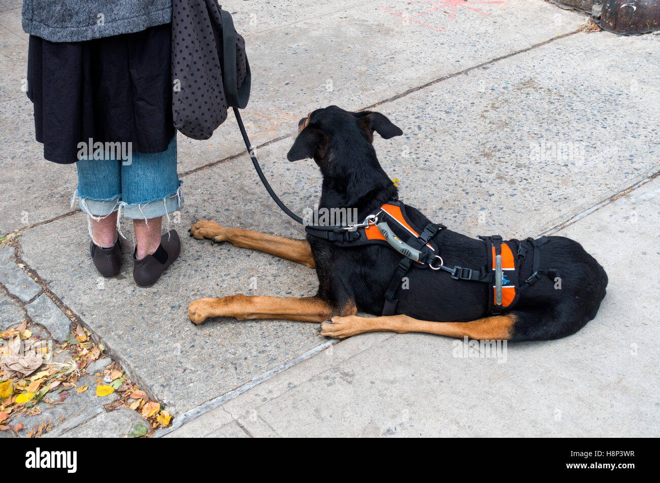 Woman with a dog on lead. The dog is wearing a support harness. - Stock Image