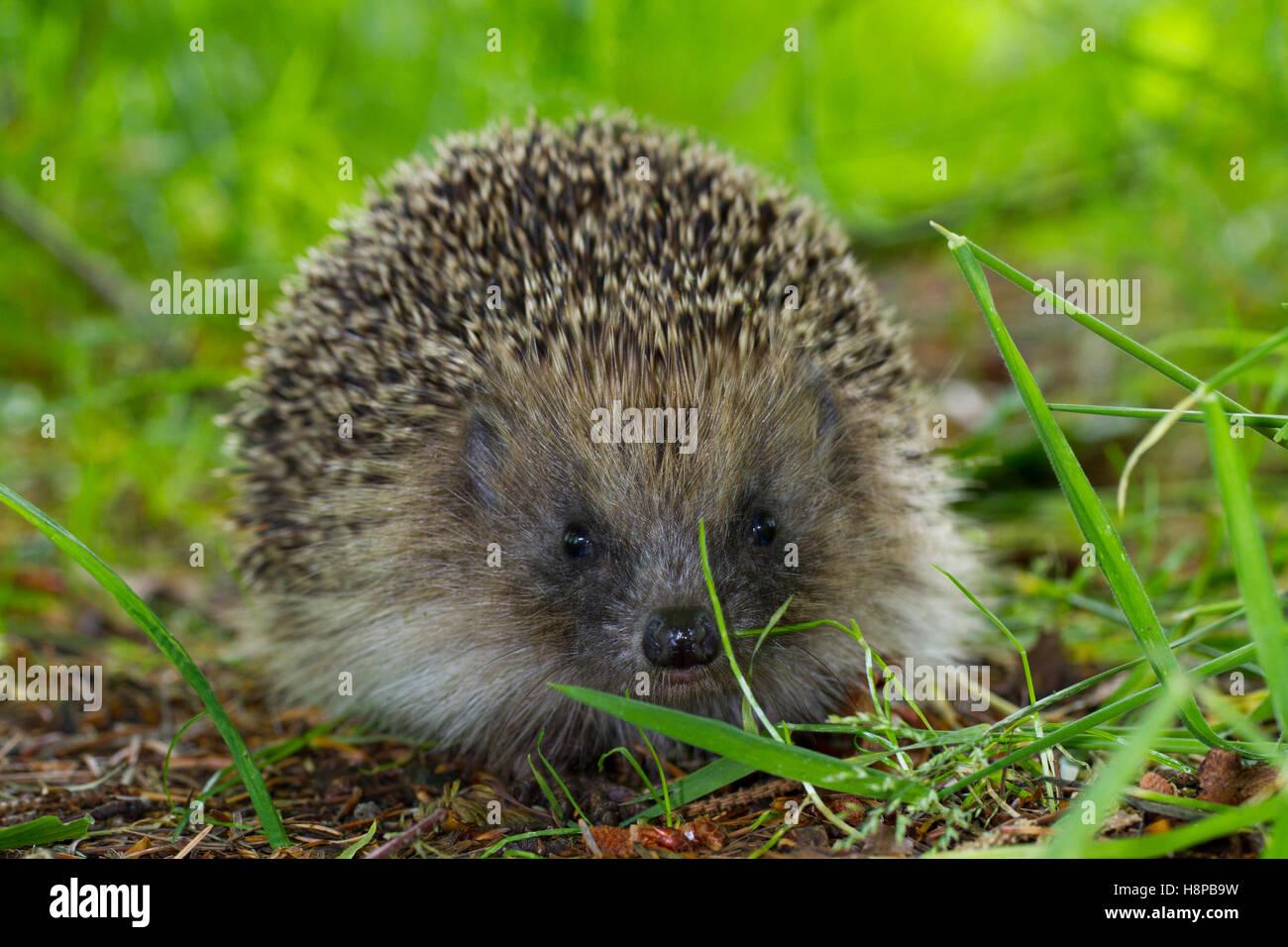 European Hedgehog (Erinaceus europaeus) wild adult,. Powys, Wales. June. - Stock Image