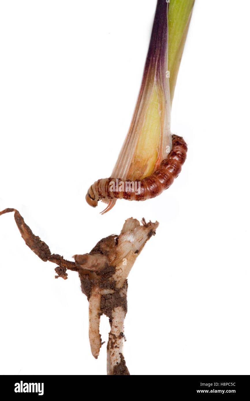 Corn earworm - Stock Image