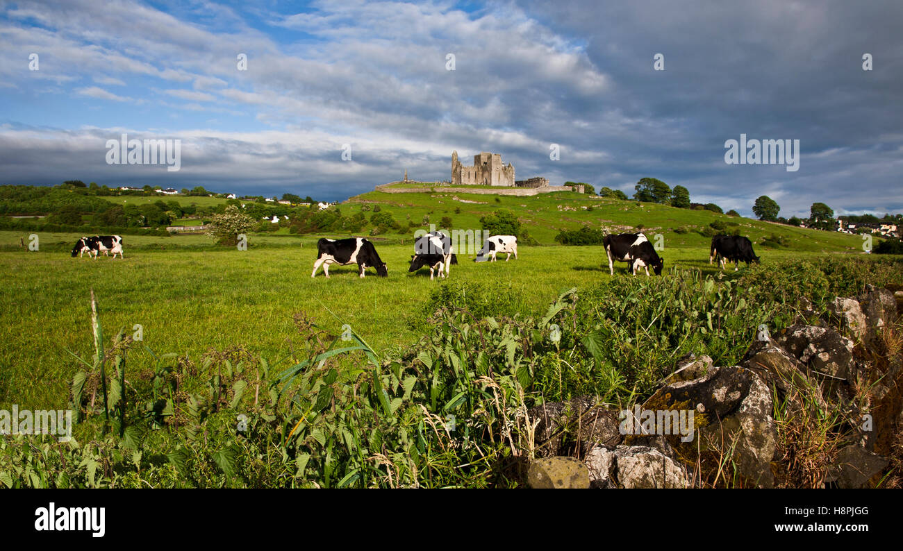Rock of Cashel Castle with Holstein dairy cows in foreground, County Tipperary, Ireland, Europe - Stock Image