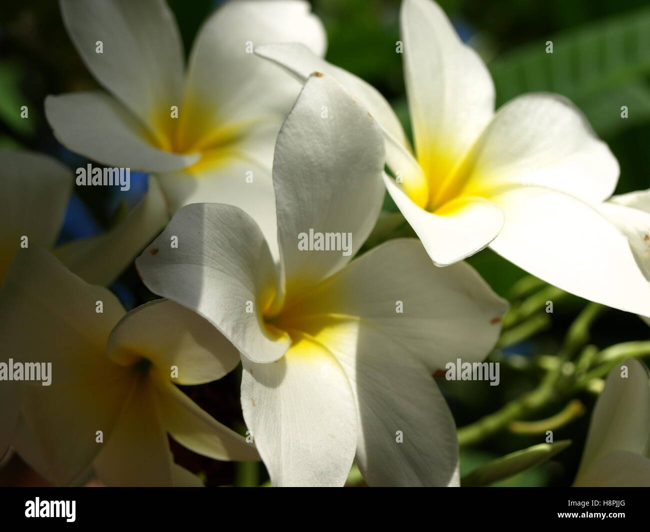 White Flowers Yellow Center Stock Photos White Flowers Yellow