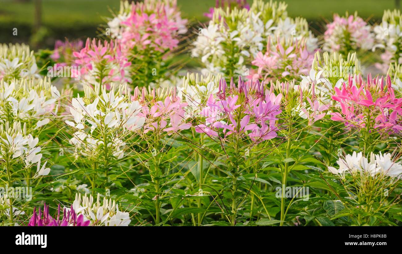 Beautiful Pink And White Spider Flower The Scientific Name Cleome
