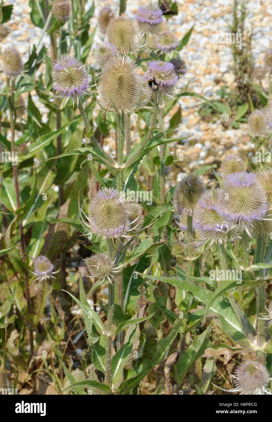 Teasel (Dipsacus fullonum) plants growing in the shingle behind the beach at Rye Harbour. Rye Harbour, Sussex, UK. - Stock Image