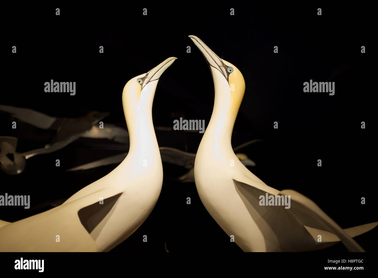Model of gannets courting, LPO ile grande - Stock Image
