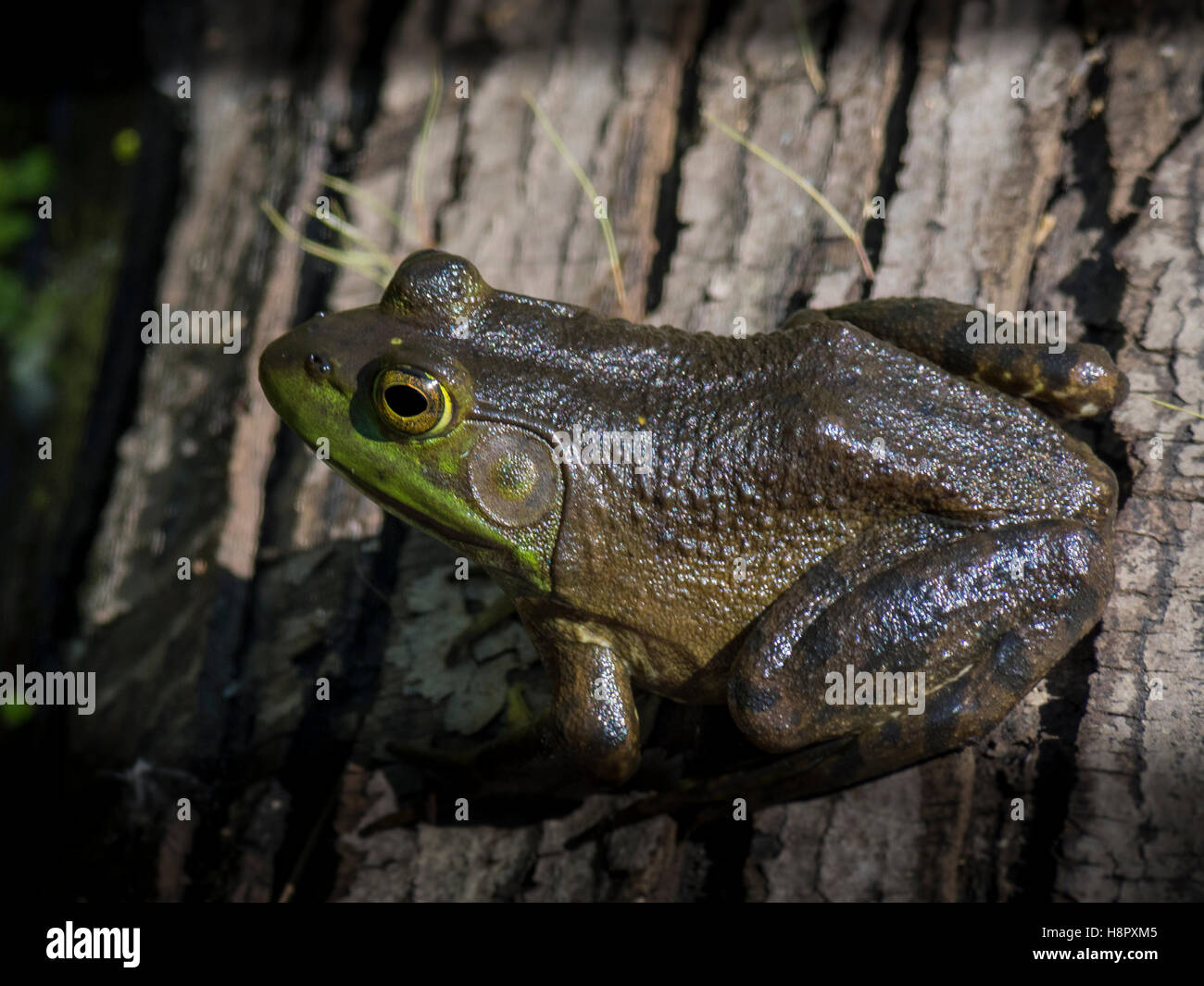 frog in a marsh - Stock Image