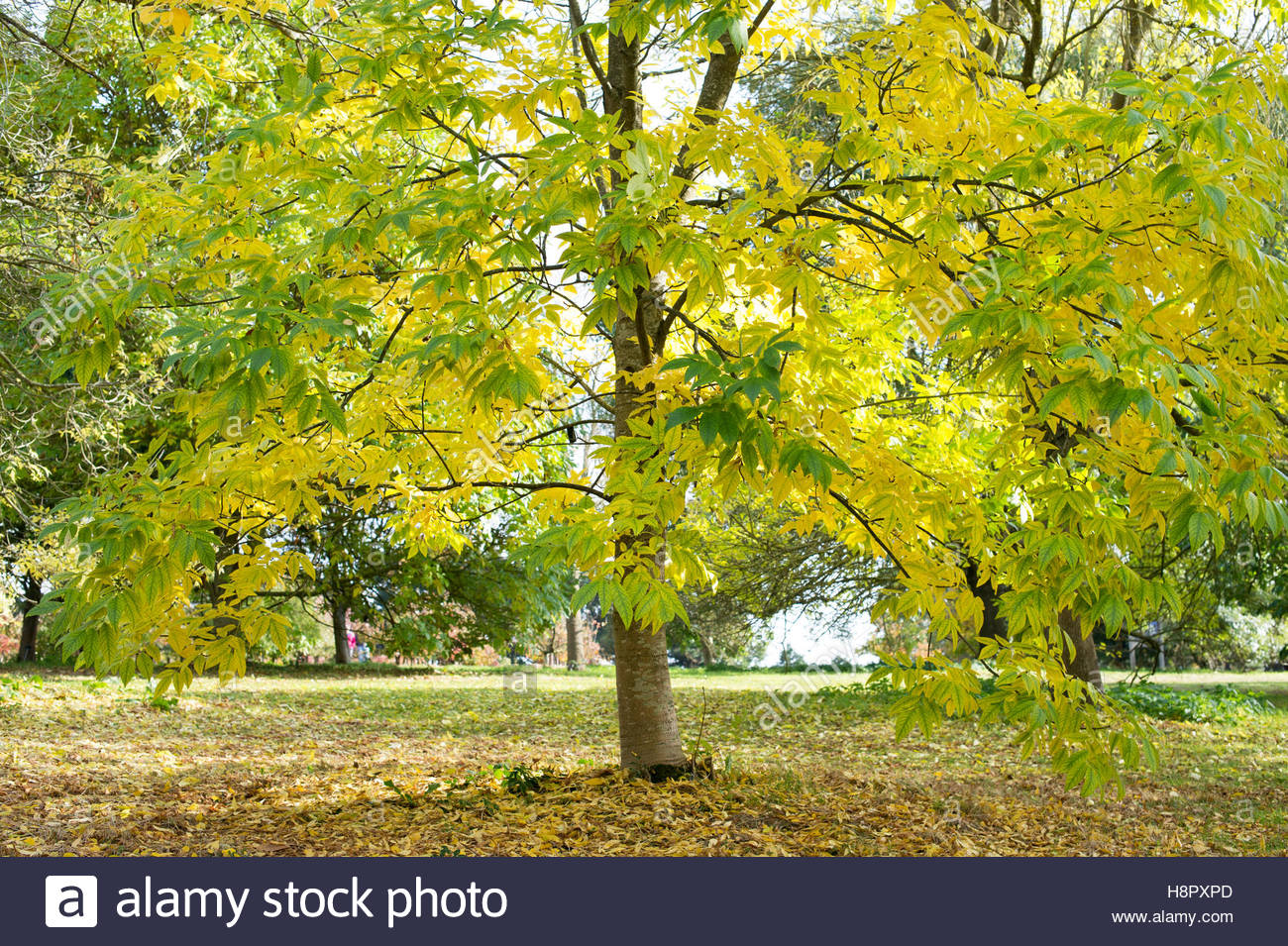 Fraxinus americana 'Rosehill'. White ash tree in autumn at RHS Wisley Gardens, Surrey, UK - Stock Image