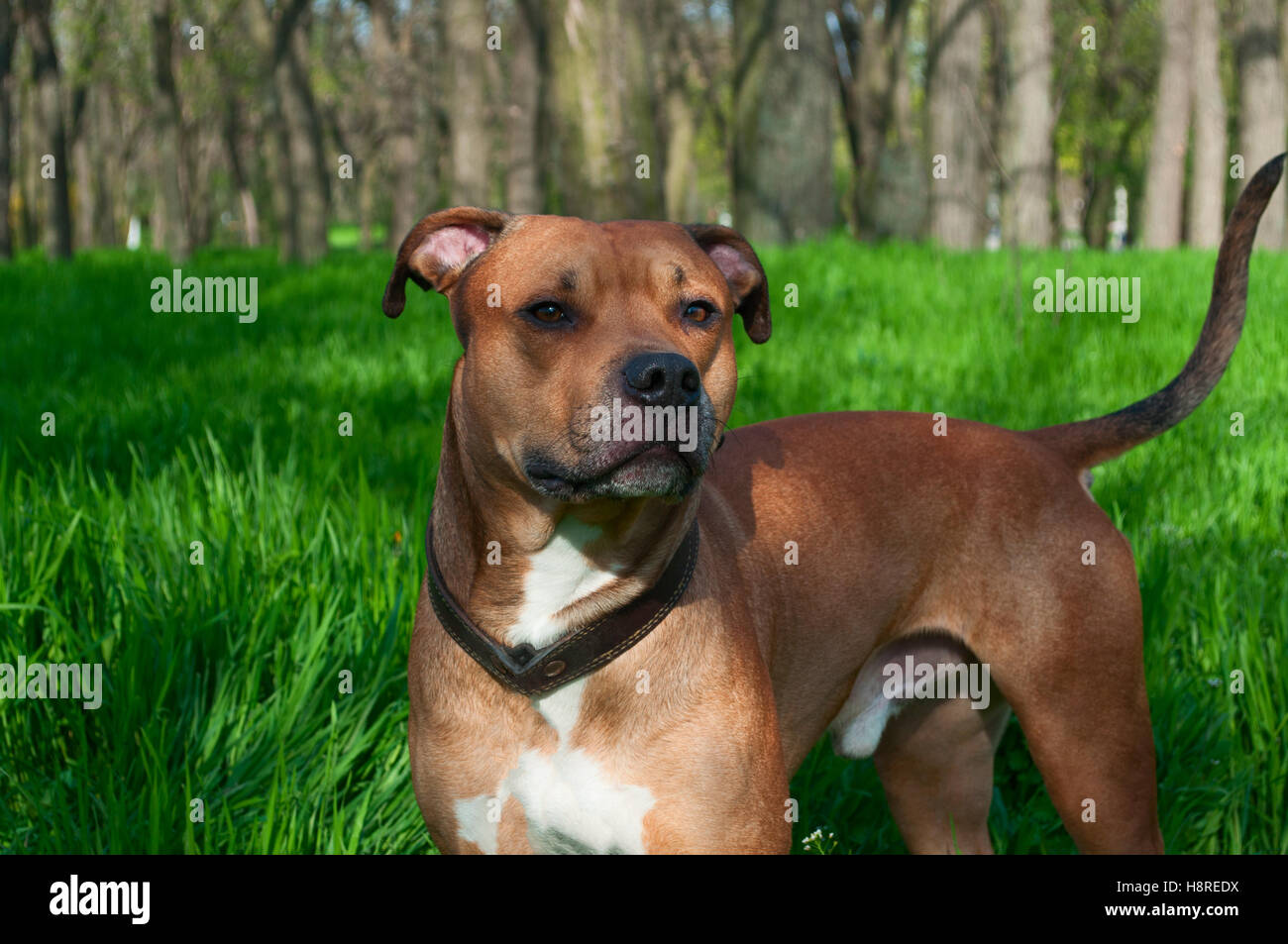 Red american Staffordshire terrier is in full growth on a background of green grass - Stock Image