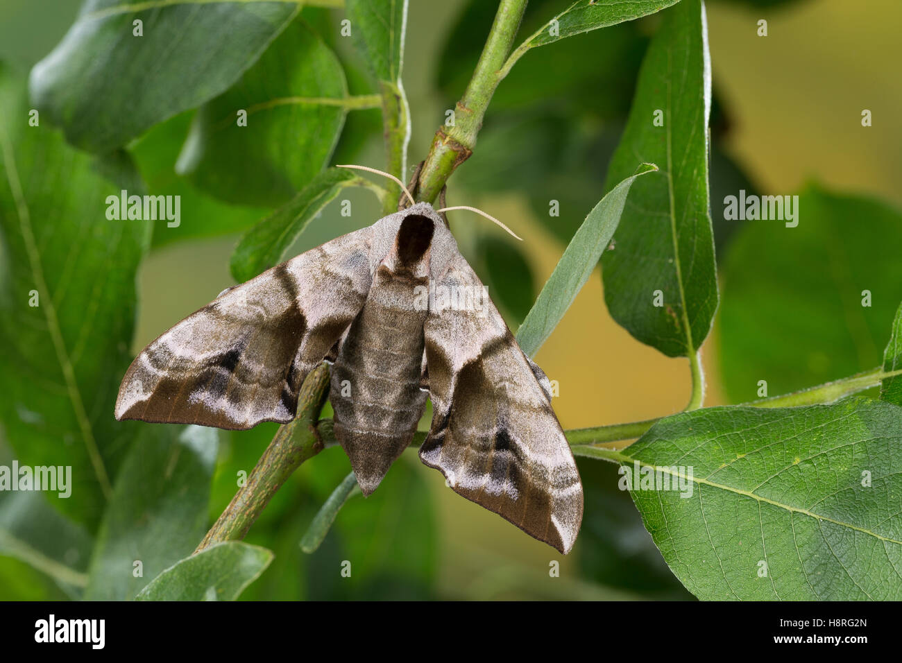 Abendpfauenauge, Abend-Pfauenauge, Smerinthus ocellata, Smerinthus ocellatus, Eyed Hawk-Moth, Eyed Hawkmoth, Le - Stock Image